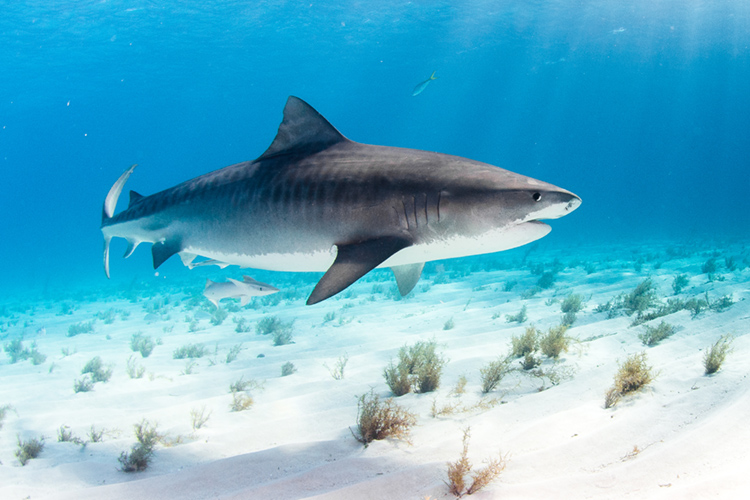 The Tiger Shark | Photo: Shutterstock