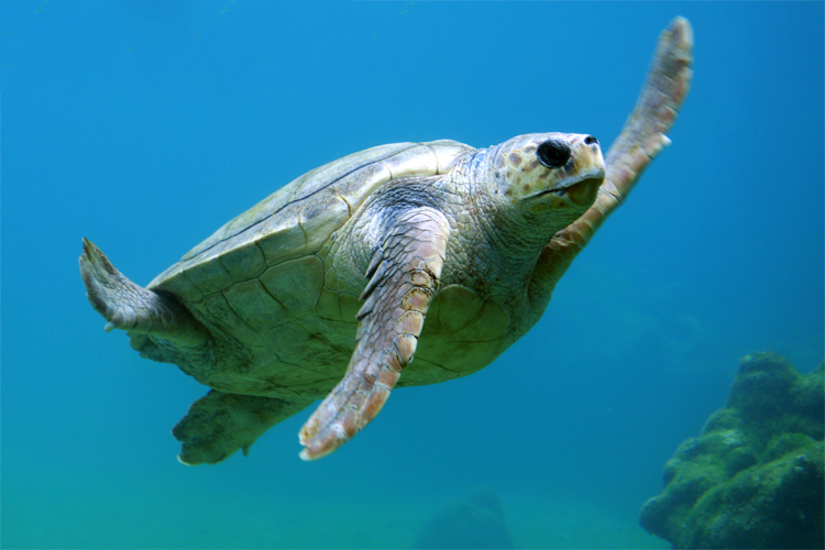 Turtles: threatened by drift gillnet fishery | Photo: Sauvin/Creative Commons